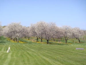 A cherry orchard in downtown Egg Harbor